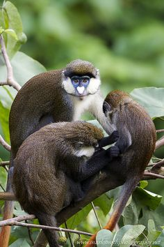 Red-tail monkeys