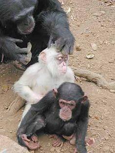 albino chimpanzee