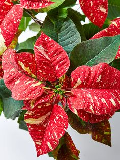 We've got all the tips you need for keeping poinsettia plants looking their best through the entire holiday season and beyond. And you can even try getting your poinsettias to rebloom next year. Christmas Mood, Xmas, Poinsettia Plant, Classic Christmas Decorations, House Plant Care, Plant Nursery, Plant Sale, Plant Needs, Potting Soil