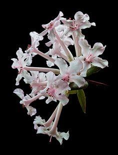 ...Vireya Rhododendron