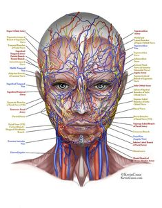 Nerves, veins, and arteries of the female face. Female facial anatomy of the vessels and nerves. Facial Anatomy, Human Anatomy, Facial Nerve, Facial Aesthetics, Medical Aesthetics, La Face, Medical Anatomy, Muscle Anatomy, Anatomy And Physiology