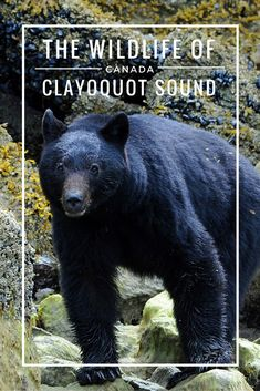 From the tiniest and most colourful life forms to the biggest mammals on earth, the Clayoquot Sound has it all. Explore this wonder of unspoilt beauty with me, as I visit the Wildlife of the Clayoquot Sound Travel Advice, Travel Guides, Travel Tips, Visit Canada, Sustainable Tourism, British Columbia, Columbia Travel, Canada Travel, Family Travel