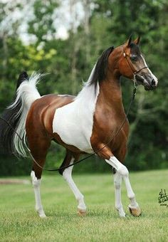 Foundation Pintabian horse breeders developed the breed by backcrossing tobiano horses to purebred Arabians for a minimum of seven generations until a strain of tobiano marked horses over Horse Photos, Horse Pictures, Appaloosa, Most Beautiful Animals, Beautiful Horses, Cheval Pie, Painted Pony, Majestic Horse, All The Pretty Horses