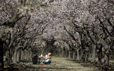 Quinta de los molinos, Madrid (Spain) 1500 almond trees making it happen