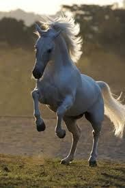Image result for free white horse dancing image