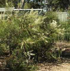 Crinkle Bush, Lomatia siaifolia.  It has grevillea like leaves and is of the same family, Proteaceae. It is long-lived and is ideal for an informal hedge, flowering all through summer. It can be pruned to make it bushier