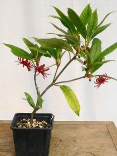 Illicium floridanum http://en.wikipedia.org/wiki/Illicium_floridanum