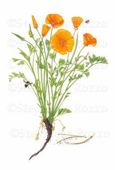 northern california poppy scientific drawing - Google Search