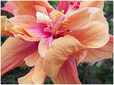 Orange and Pink Hibiscus