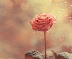 rose for phone wall paper