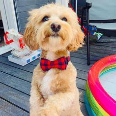 "Buddy on Instagram: ""Got a brand new collar! 🥰🐾 #buddythemaltipoo #teddydog #livingmybestlife #cutepuppy"" Cute Puppies, Brand New, Dogs, Animals, Instagram, Animales, Animaux, Doggies, Animal"