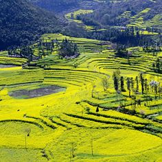 365 WONDERS OF THE WORLD: #143  The Canola flower fields in Luoping, China is one of the world's most beautiful sights.  Read more>> http://www.travelstart.co.za/lp/yiwu/flights  #365wondersoftheworld #travelstart #china #asia