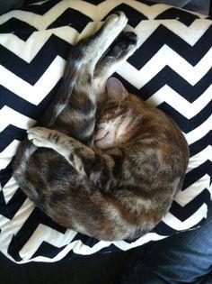 Yoga Cat #cats #yoga