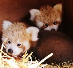 These gorgeous twin red panda sisters were born at Longleat Safari Park seven weeks ago, and the first pictures of them have just been released. The shy and solitary red panda is endangered in the wild and it's only the second time babies have been born in captivity at Longleat