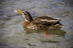 Balancing act - Duck with feather on Lake Taupo New Zealand Lakes, Acting, Feather, Birds, Photography, Photograph, Bird, Feathers, Photo Shoot