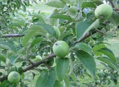 86 Best Apple Tree Care Images In 2020 Tree Care Apple Tree