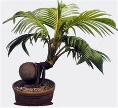 Bonsai Coconut Tree - Bing Images