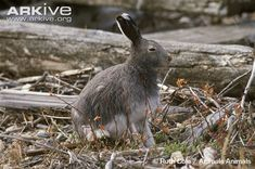 Adult arctic hare resting - View amazing Arctic hare photos - Lepus arcticus - on Arkive Arctic Hare, Rabbit, Animals, Image, Closure, Eyes, Bunny, Rabbits, Animales