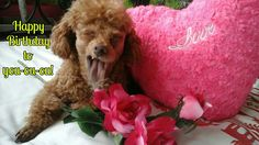 Happy Birthday   (tags: apricot fawn cute miniature poodle dog Leo Leonardo singing love song pink roses funny)