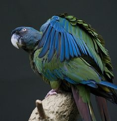 The endangered and rare Blue Macaw from Peru