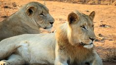 The Matimba male lion coalition is invaded by the 5 young Birmingham males. The new males kill all the cubs in the pride. Male Lion, Big Cats, Cubs, Lions, Animals, Long Live, Ash, Amazing, Youtube