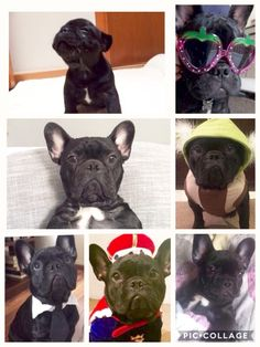 Teo desde bebé hasta adulto de 1 año y 10 meses, Teo, a French Bulldog Puppy, at 10 months and 1 year old❤