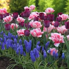 Flower Bulb Assorted Spring Dreams Collection. This combination of triumph tulip Purple Lady with early pink double Foxtrot and blue grape hyacinths looks fabulous in both gardens and containers.