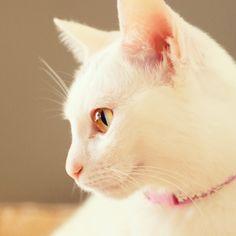 """""""きりりと横顔「おはにゃんございます。」 #nekomikan #白猫 #ねこ部"""""""