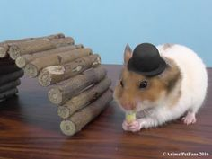 Hamster in a hat by AnimalPetFans