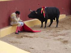 "This incredible photo marks the end of Matador Torero Alvaro Munera's career. He collapsed in remorse mid-fight when he realized he was having to prompt this otherwise gentle beast to fight. He went on to become an avid opponent of bullfights. Even grievously wounded by picadors, he did not attack this man.  Torrero Munera is quoted as saying of this moment: ""And suddenly, I looked at the bull. He had this innocence that all animals have in their eyes, and he looked at me with this"
