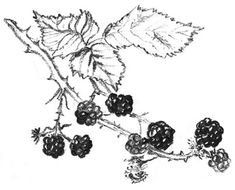 Image result for blackberry foraging drawing