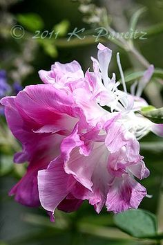 Morning Glory 'Pink Feathers' ~ Wow