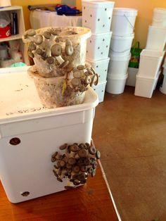 bucket in a bucket technique for easy home mushroom cultivation Garden Mushrooms, Growing Mushrooms, Mushroom Culture, Mushroom Cultivation, Fruit Garden, Urban Farming, Permaculture, Restaurant Design, Truffles
