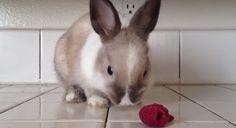 #bunny #eats #raspberries Ahududu yiyen tavşan | Kivion