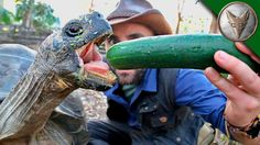 On this episode of Dragon Tails, Coyote feeds a HUGE Galapagos Tortoise named Bu...