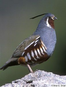 Mountain Quail — Birds of North America Online