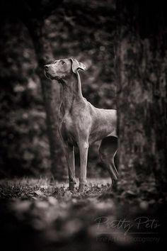 Weimaraner dog photography / dog photography on location - Animals Dog Photos, Dog Pictures, Big Dog Toys, Cool Dog Houses, Best Dog Breeds, Boxer Dogs, Dog Portraits, Dog Photography, Dog Accessories