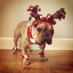 50 Adorable Reasons That 2013 Was The Year Of The French Bulldog Puppies And Kitties, Cute Puppies, Cute Dogs, Doggies, Christmas Animals, Christmas Dog, Merry Christmas, Baby Animals, Cute Animals