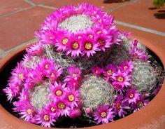 Mammillaria lauii var dasyacantha