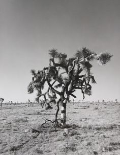 Joshua Tree National Park (09-06).  D'Arcy Curwen. 2009. gelatin-silver print. The print is 12x9 and matted to 20x16. Donated by Krista Ivy.