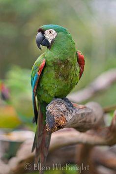 Chestnut-fronted Macaw (Ara severa) - by Ellen McKnight