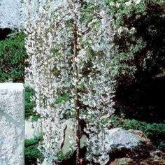 Weeping Cherry Snow Fountain Tree