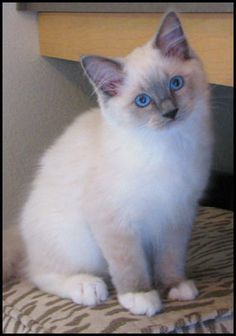 my ragdoll kitten Get Informed with Worthy Readings. http://www.dailynewsmag.com