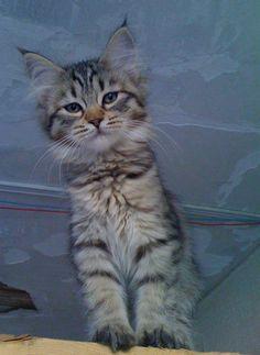 pixie-bob kitten frm anson road pixie bobs