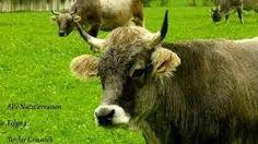 Bildergebnis für Rinderrassen Bilder