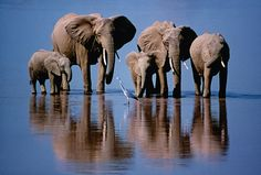 Angie Scott (Kenya) 2002: The elephants are obviously relaxed, but also that they are perfectly composed and almost perfectly still – hardly a ripple in the water. They all appear to be meditatively watching the heron walking slowly in front of them, looking for fish they might disturb when drinking. Photograph: Angie Scott/NHM