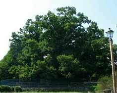 Two thousand year old chesnut tree