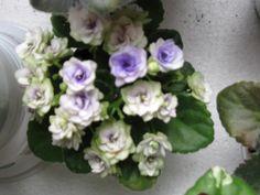 Optimara Little Moonstone(полумини).Фото моего цветения.
