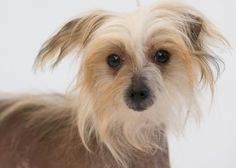 Adopt Mushu, a lovely 1 year 5 months Dog available for adoption at Petango.com. Mushu is a Chinese Crested and is available at the National Mill Dog Rescue in Colorado Springs, CO. milldogrescue.org #rescue #adoptyourfriendtoday