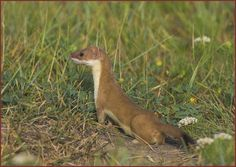 "Long-tailed weasel (Mustela frenata) One of the largest members of the genus Mustela in North America, 11-22"" in length plus tail of 3-6"". In most populations, females are 10–15% smaller. A fearless and aggressive hunter which may attack animals far larger than itself but prefers rodents. Primary prey consists of mice, rats, squirrels, chipmunks, shrews, moles and rabbits. Occasionally, small birds, bird eggs, reptiles, amphibians, fish, earthworms and some insects."